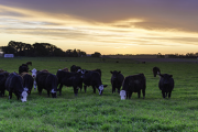 DSM's research collaboration in New Zealand well-advanced with pasture-based methane solution for dairy farmers