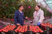 Signify installs Poland's first FULL LED lighting in a pink tomato greenhouse