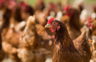 Webinar on Poultry Sector in the UAE – Challenges & Opportunities