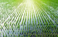 Global cooling event 4,200 years ago may have caused the evolution of rice
