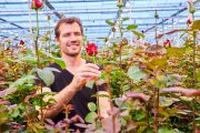 Dutch rose grower Marjoland achieves higher production and excellent quality with Signify's dedicated light recipe for roses