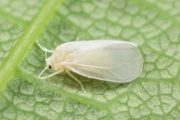 Can biopesticides help to protect crops against whiteflies?
