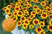 Sakata celebrates a Fleuroselect Gold Medal 2022 for Zinnia Profusion Red Yellow Bicolour