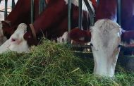 DRAUGHTS IN THE BARN:MAJOR RISK FOR CALVES AND COWS DURING THE COLD SEASONS