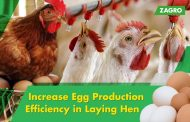Increase Egg Production Efficiency in Laying Hen