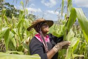FAO moves to scale up response to Fall Armyworm as pest continues to spread