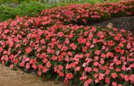 Beacon® Impatiens Seed Sales Will Help Fight Lung Disease In 2021