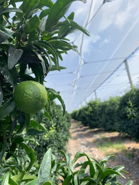 Windbreaks and Shade Screens For Citrus Fruits: Arrigoni Agrotextiles Increase Yield Up To 30%