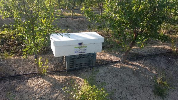Optimising almond pollination at challenging time of year