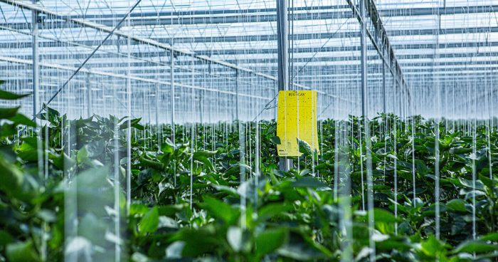 Monitoring essential to stay ahead of pepper pests