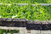 FLORA ECO GLUE: AN INNOVATIVE SUBSTRATE ADDITIVE FOR THE HORTICULTURE INDUSTRY