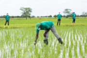ITFC Partners with OCP Africa to Support Côte d'Ivoire's Agriculture Output and Train 20,000 Farmers
