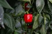 GALIANO, THE TOP SEEDS INTERNATIONAL PEPPER BEATS THE SPANISH COLD