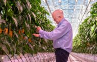 Miljøgartneriet, Norway's largest nursery, grows even more tomatoes and peppers year-round by using Philips LED lighting