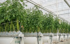 Al Dahra BayWa rolls out to UAE markets its first harvest of the year