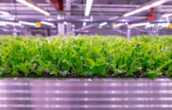 Fresh, locally produced salads all year round, with Signify's LED grow lights