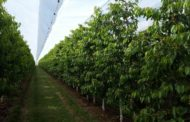 Cherry Trees, Arrigoni's Solutions Against Cracking And Pests