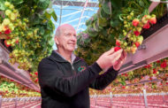 Research Signify and Fragaria Innova into growing strawberries with LED bears fruits