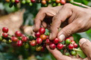 From Crop to Cup: the journey of the Coffee Planet beans