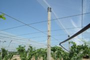 Table grapes: Arrigoni offers various solutions for complete protection