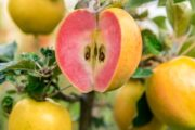 KISSABEL APPLES WILL SOON BE HERE AGAIN